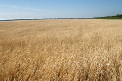 Campo del trigo maduro del cielo en el fondo Fotografía de archivo