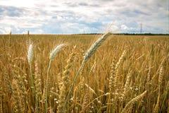 Campo del trigo maduro en el campo Imagen de archivo