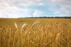 Campo del trigo maduro en el campo Imagen de archivo libre de regalías