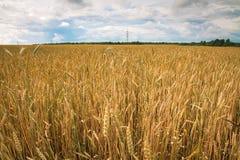 Campo del trigo maduro en el campo Imagenes de archivo