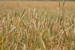 Campo del trigo maduro en el campo Foto de archivo libre de regalías