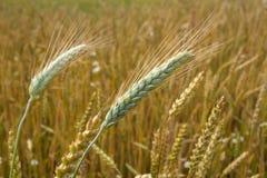 Campo del trigo maduro en el campo Imágenes de archivo libres de regalías