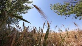 Campo del trigo maduro en un d?a soleado metrajes