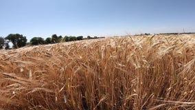 Campo del trigo maduro en un d?a soleado almacen de video