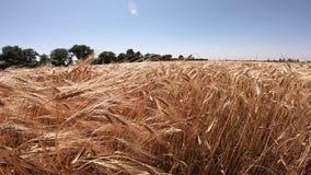 Campo del trigo maduro en un d?a soleado almacen de metraje de vídeo