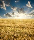 Campo del trigo maduro en una salida del sol del fondo en el cielo azul Fotos de archivo libres de regalías