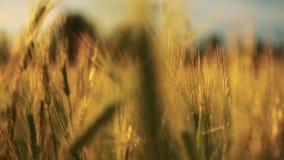 Campo del trigo soplado lentamente por el viento cerca de la opinión de la cámara desenfocado metrajes