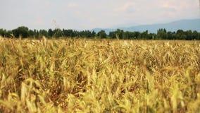 Campo del trigo soplado lentamente por el viento con el bosque en fondo almacen de video