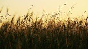 Campo del trigo soplado lentamente por el viento con el bosque en fondo metrajes