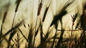 Campo del trigo soplado lentamente por la opinión del cierre del viento con el cielo en fondo almacen de video