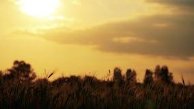 Campo del trigo soplado lentamente por la opinión del cierre del viento con el cielo y el sol en la tierra trasera almacen de video
