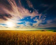 Campo del trigo ucraniano en el cielo azul Foto de archivo libre de regalías
