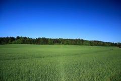 Campo del trigo verde Fotografía de archivo libre de regalías
