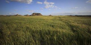 Campo del trigo verde Fotos de archivo libres de regalías