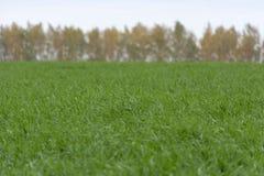 Campo del trigo verde, hierba, árboles del fondo, otoño Fotografía de archivo