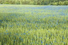 Campo del trigo y de los acianos Imagen de archivo