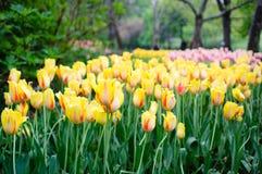 Campo del tulipán Foto de archivo libre de regalías