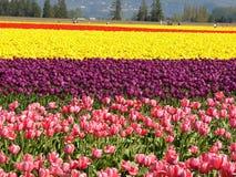 Campo del tulipán fotografía de archivo