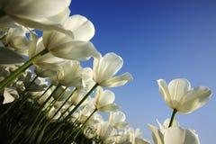 Campo del tulipán Fotografía de archivo libre de regalías