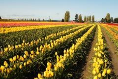 Campo del tulipán foto de archivo