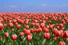 Campo del tulipán Imagen de archivo libre de regalías