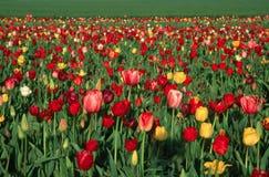 Campo del tulipán Imágenes de archivo libres de regalías