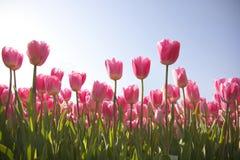 Campo del tulipán con el cielo Fotografía de archivo