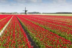 Campo del tulipán con el molino de viento Foto de archivo