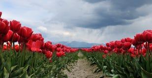 Campo del tulipán con las nubes de lluvia Imágenes de archivo libres de regalías