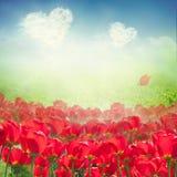 Campo del tulipán con las nubes del corazón Imagenes de archivo