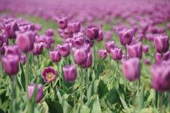 Campo del tulipán de la primavera Imágenes de archivo libres de regalías