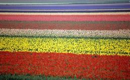 Campo del tulipán del arco iris fotos de archivo