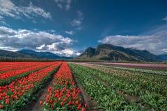Campo del tulipán del campo Imágenes de archivo libres de regalías
