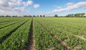 Campo del tulipán después de cortar los flowerheads Imagen de archivo libre de regalías