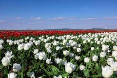 Campo del tulipán el día soleado de la primavera Imagen de archivo libre de regalías