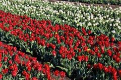 Campo del tulipán el día soleado de la primavera Imágenes de archivo libres de regalías