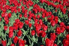 Campo del tulipán el día soleado de la primavera Foto de archivo