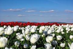 Campo del tulipán el día soleado de la primavera Fotografía de archivo libre de regalías