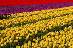 Campo del tulipán en Holanda Imagen de archivo
