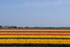 Campo del tulipán en Holanda Fotografía de archivo libre de regalías