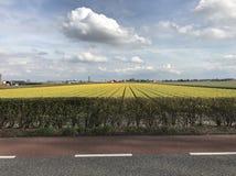 Campo del tulipán en los Países Bajos foto de archivo libre de regalías