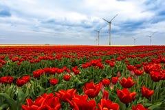 Campo del tulipán en primavera Imágenes de archivo libres de regalías