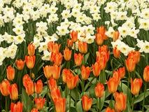 Campo del tulipán y del narciso Foto de archivo libre de regalías