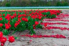 Campo del tulipán y molinos viejos en netherland Foto de archivo