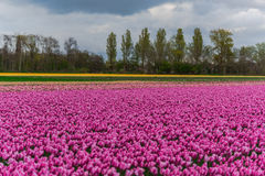 Campo del tulipán y molinos viejos en netherland Imagen de archivo