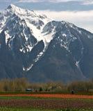 Campo del tulipán y montaje majestuoso Imagen de archivo libre de regalías