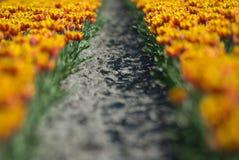 Campo del tulipano Fotografie Stock