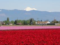 Campo del tulipano immagine stock