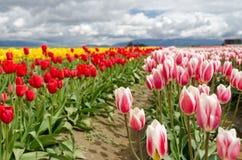 Campo del tulipano. Fotografia Stock