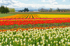 Campo del tulipano. Immagine Stock